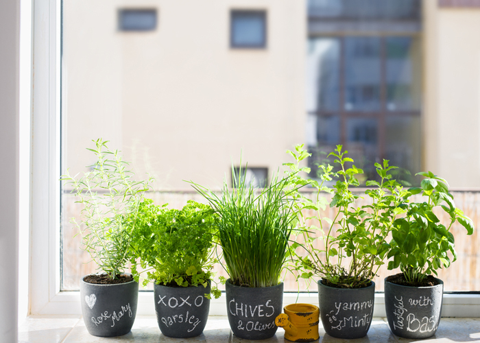 line of indoor kitchen herbs in pots